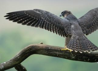 Jeune hors du nid attendant le ravitaillement