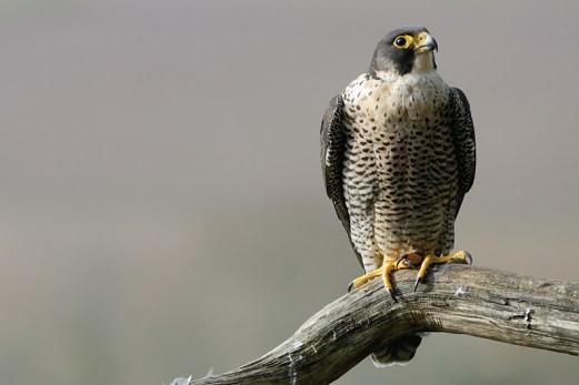 Un beau spécimen de faucon pèlerin (Falco peregrinus)