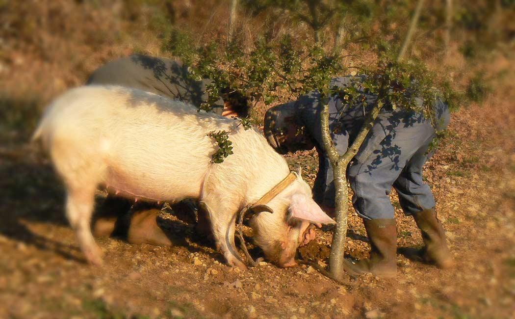 Le cavage : cochon ou chien truffiers ?
