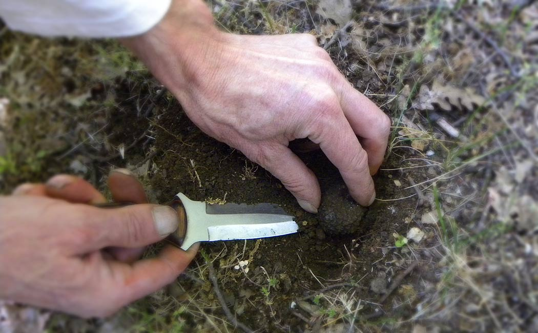 Le cavage : la récolte des truffes