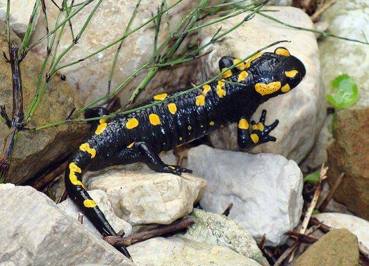 salamandra-salamandra