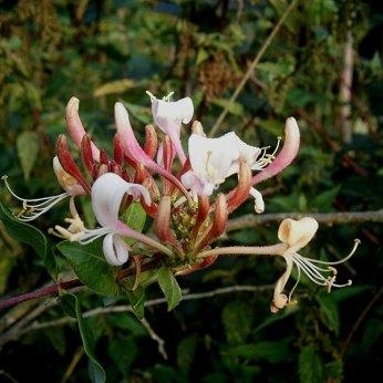 Chèvrefeuilledesbois (Lonicera periclymenum)