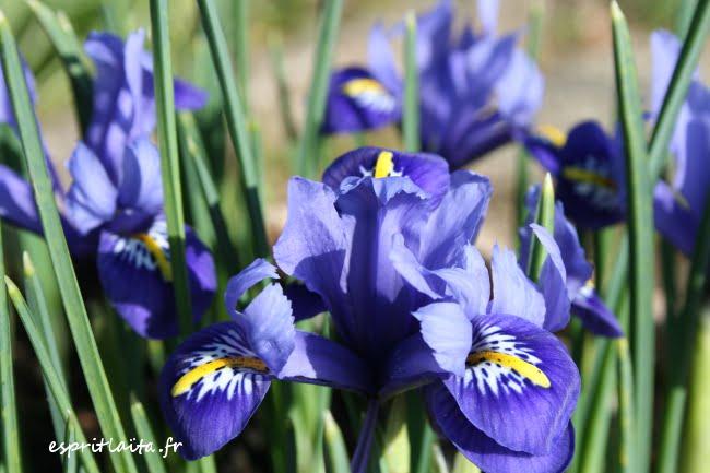 mini iris bleu
