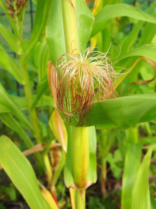 Maïs - potager débutant en août