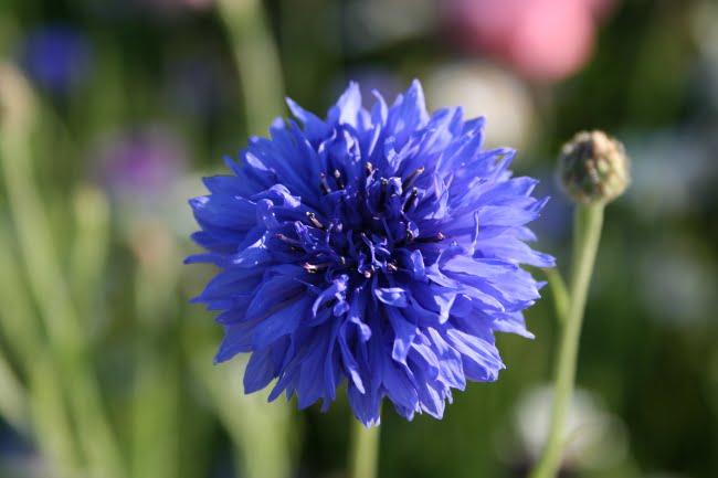 Bleuet des champs - Fleurs bleues