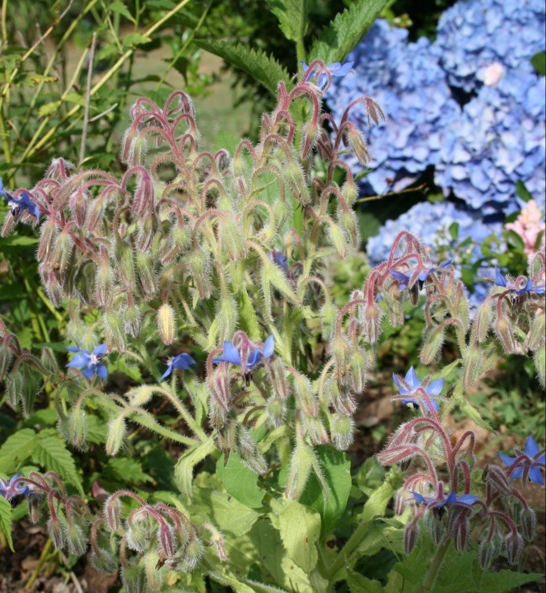 petites fleurs bleues de bourrache