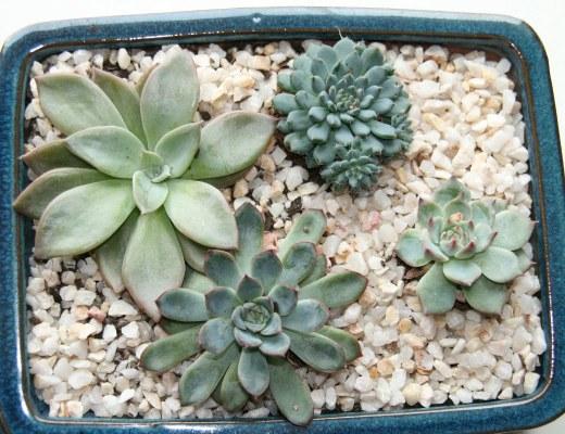 composition de succulentes et plantes grasses