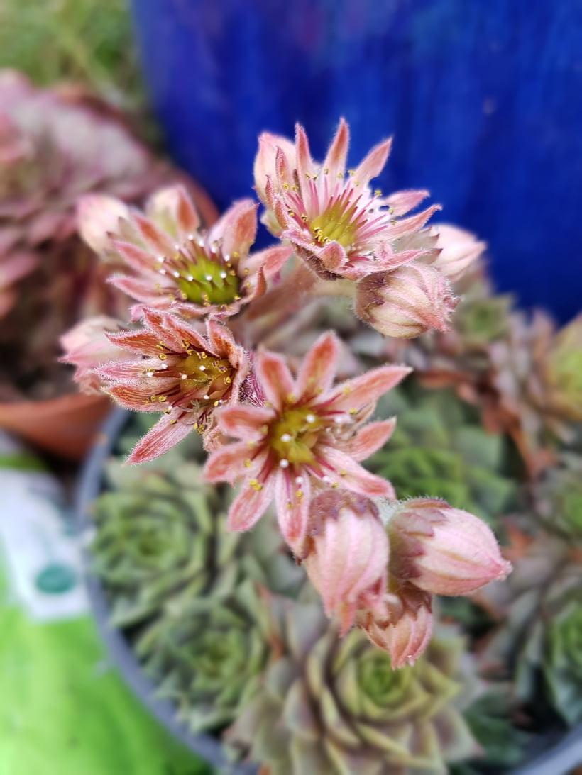 fleurs joubarbe