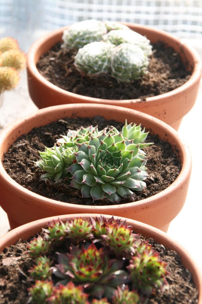 conserver succulentes et plantes grasses en hiver