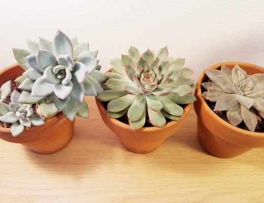 reconnaitre et nommer les succulentes et les plantes grasses