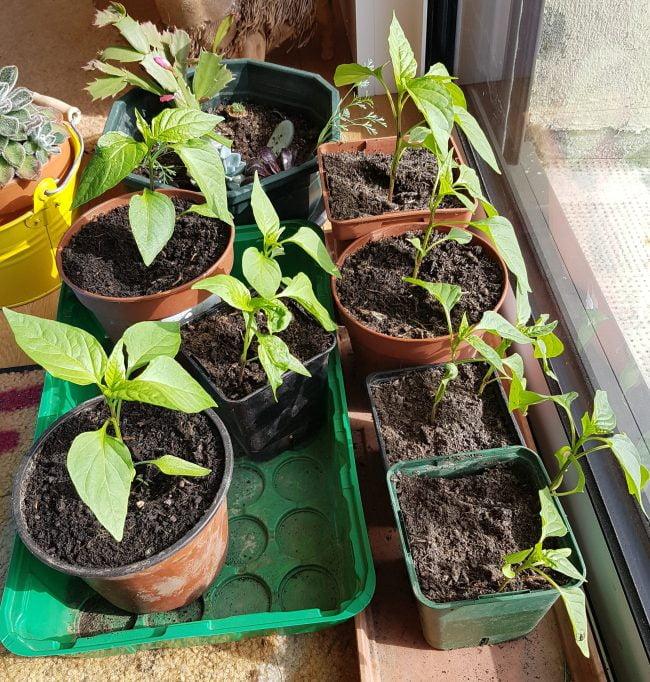 plants de poivrons