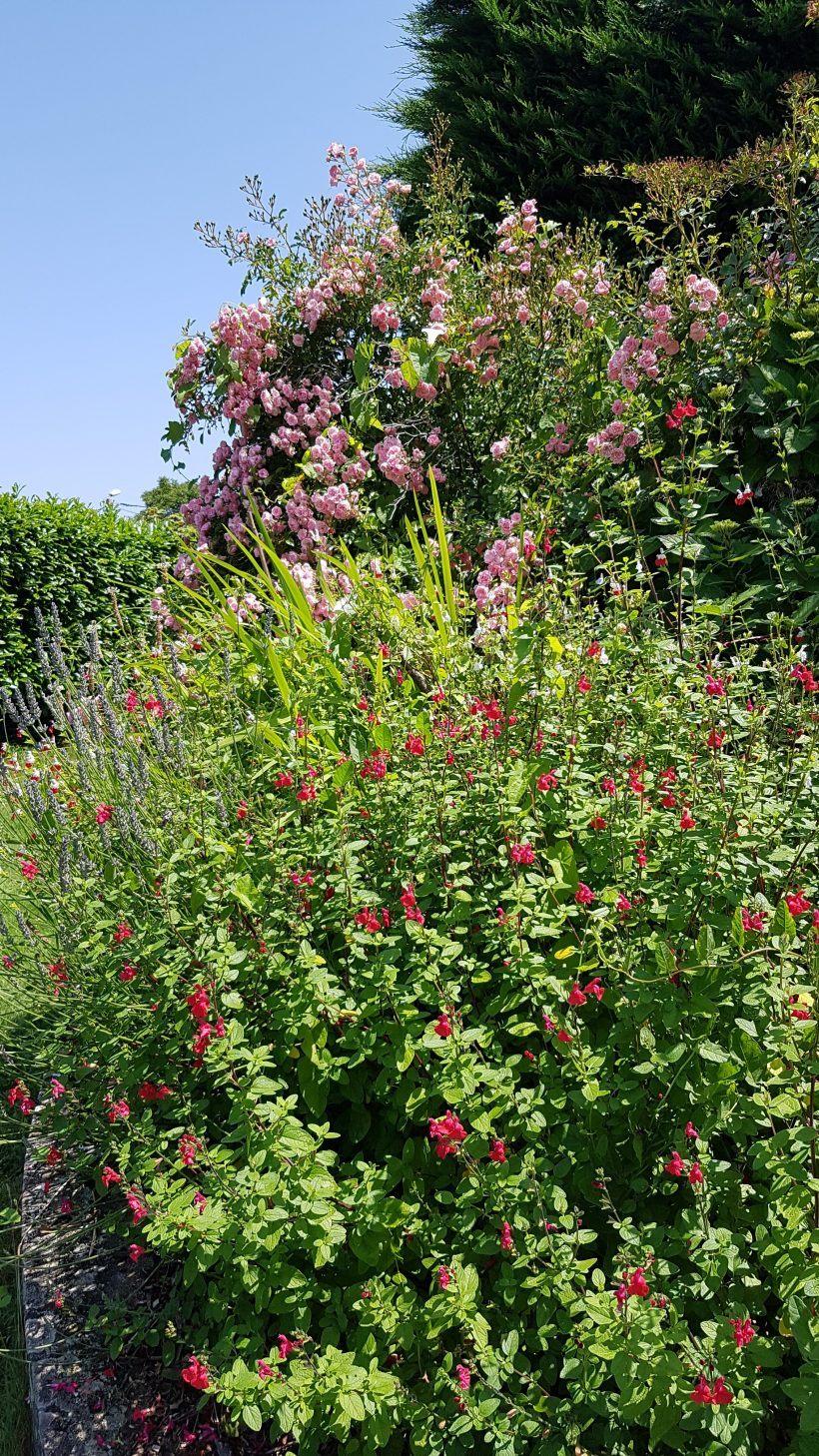 Rosier Fairy - jardin Esprit laïta