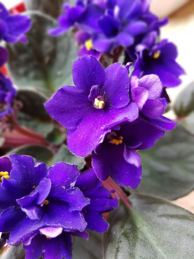 saintpaulia bleu - entretien et bouturage