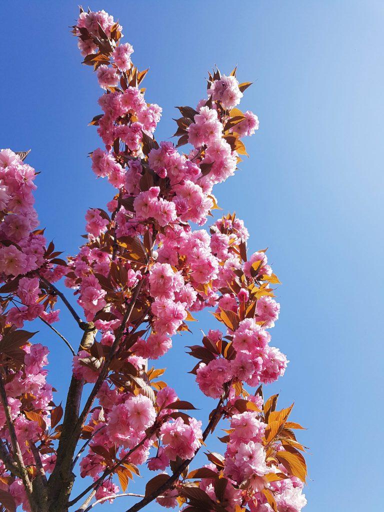 Choisir un cerisier fleur - Prunus serrulata Kanzan