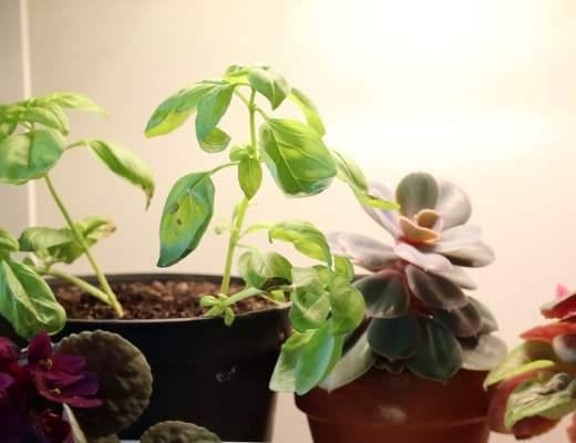 Faire pousser du basilic en hiver