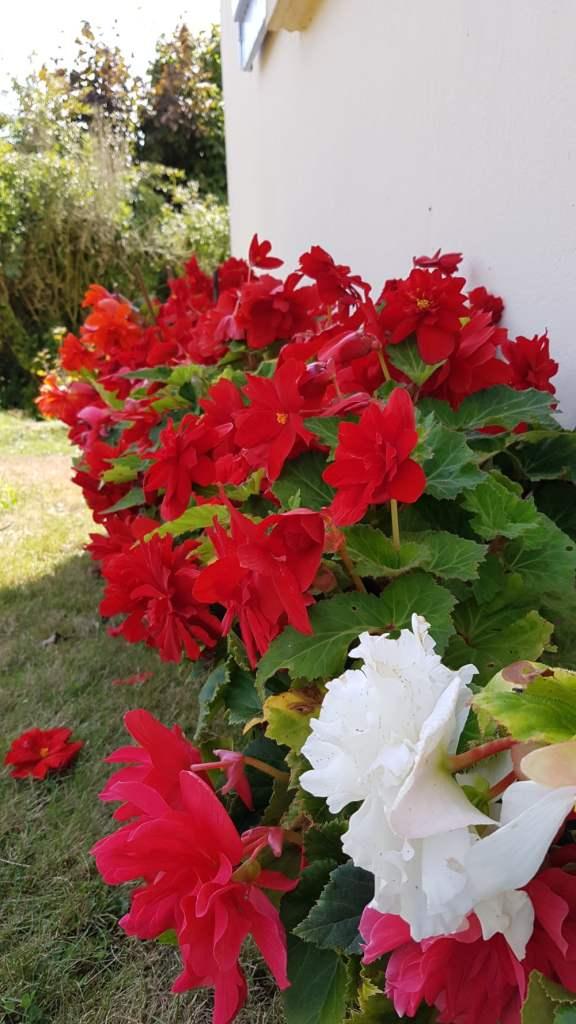 Como cultivar begônia tuberosa
