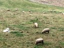 Dogs guarding sheep