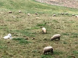 Dogs guarding sheep
