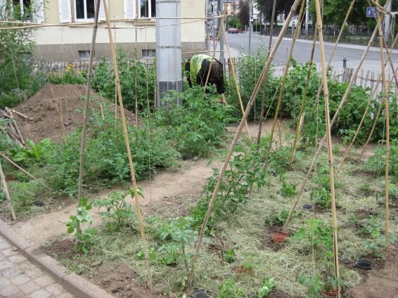 Neuseeländerspinat wird bald den Boden zwischen den Tomaten bedecken