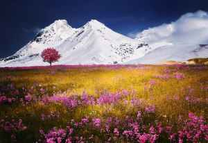 Pink spring flowers blossom in a field overlooked by snowy mountains