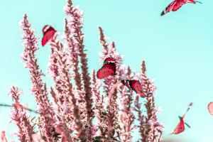 Red butterflies flit past pink flowering stalks