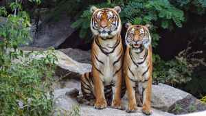 Two tigers sitting beside each other
