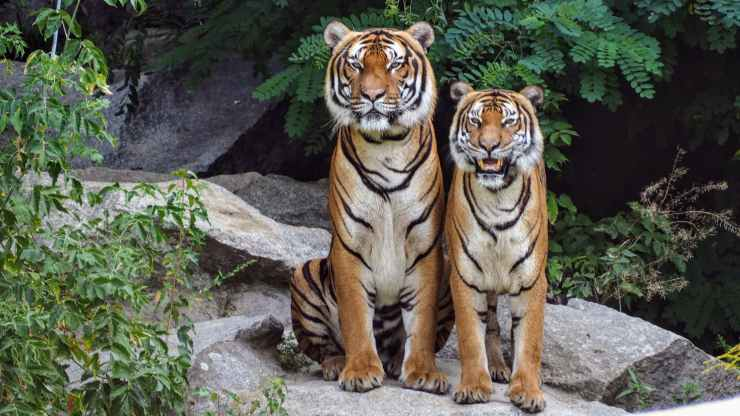 A pair of tigers sit and stand together on a rock