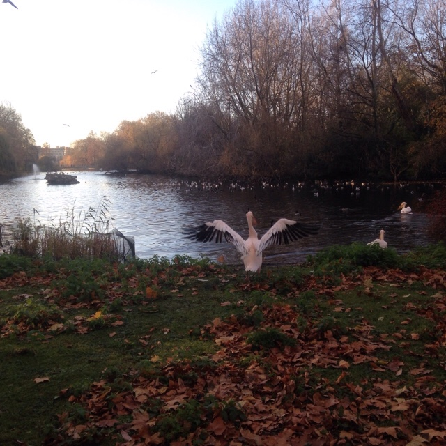 Pelicans in the park!