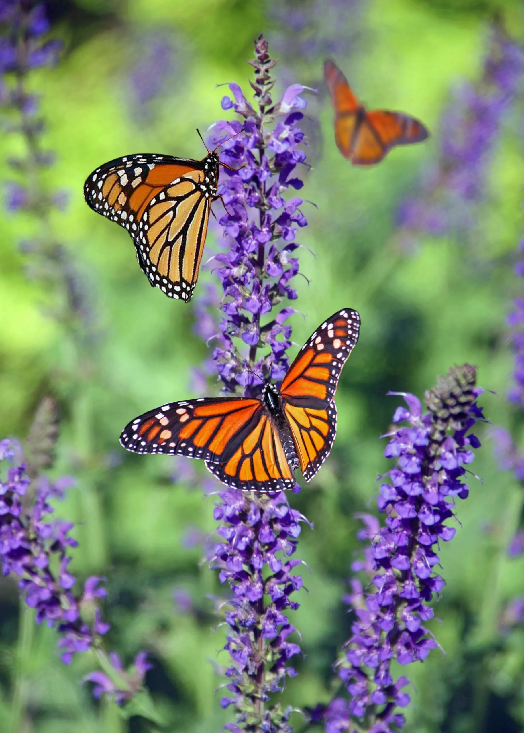 20+ Uses for Lavender Essential Oil
