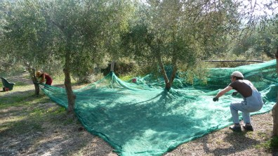 Even the olive harvest is based on the net now, our ancestors did not have this comfort...
