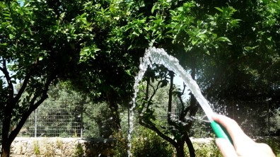 Watering orange trees