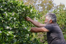 Manolis and the bees are all around the orange tree