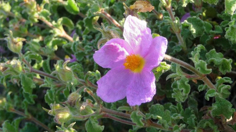 Rock Rose, Cistus creticus