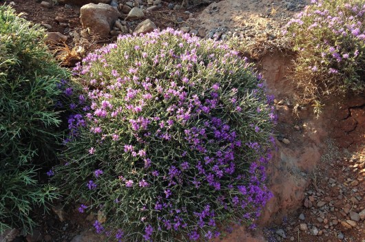 Cretan wild thyme in the light of rising sun