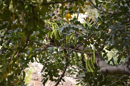 Cretan carob tree with young green beens in May