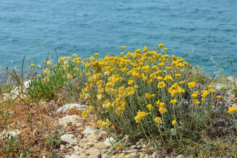 Helichrysum near the rocky shores of Crete, May 2018