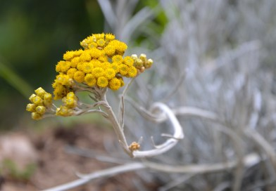 Helichrysum