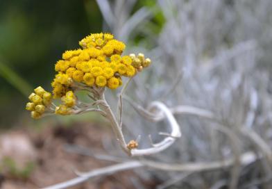 Helichrysum: The Flower of Forgiving Love & Everlasting Light
