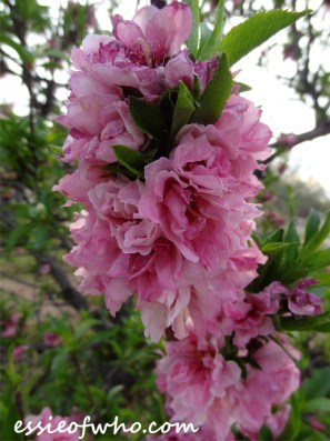 2016-peach-blossoms-1