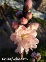2016-peach-blossoms-11