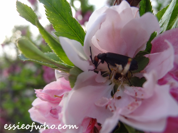 2016-peach-blossoms-2
