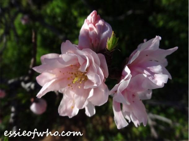 2016-peach-blossoms-5