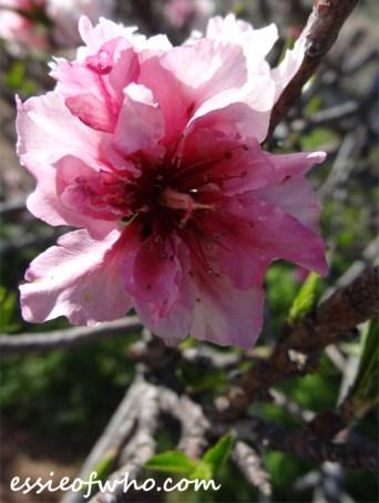 2016-peach-blossoms-6