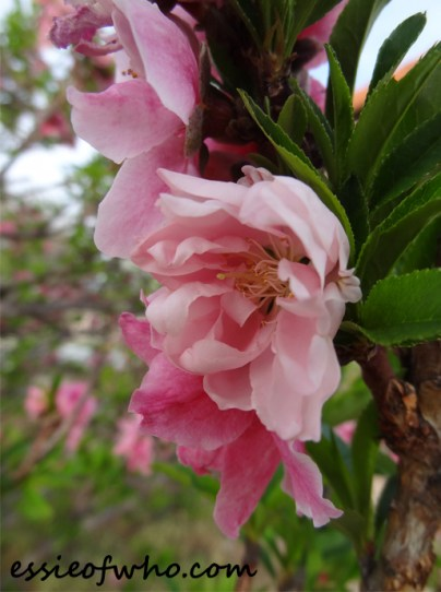 2016-peach-blossoms-8