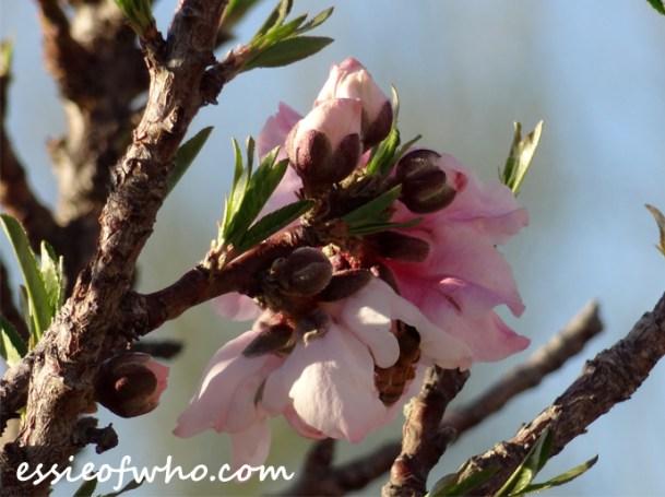 2016-peach-blossoms-8