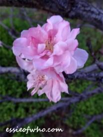 peach blossom 2017 (11)