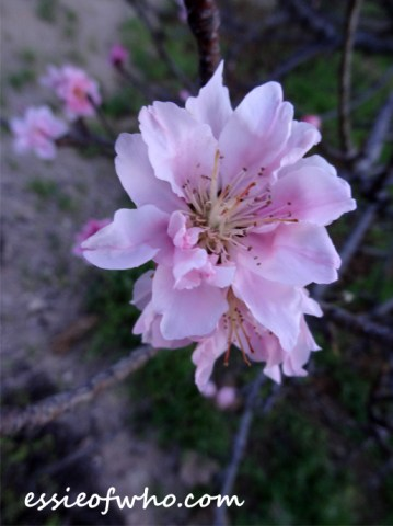 peach blossom 2017 (16)