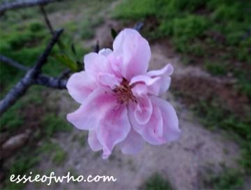 peach blossom 2017 (18)