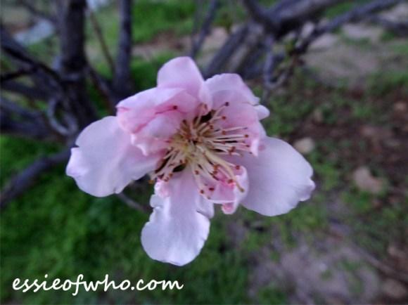 peach blossom 2017 (1)