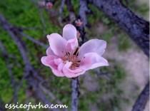 peach blossom 2017 (4)